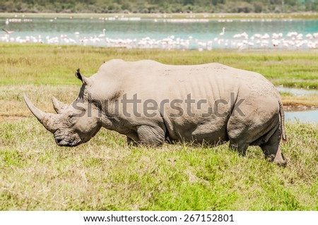 A big, fully grown, female white rhinoceros walks over the green flat lands by lake Nakuru in full view. behind The lake with many flamingos in the water is visible behind her. - stock photo