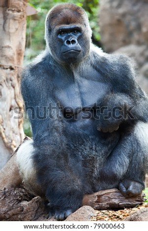 a big gorilla silver back male in the zoo - stock photo