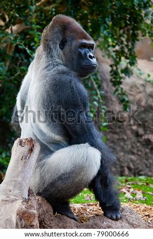 a big gorilla silver back male in the zoo - stock photo