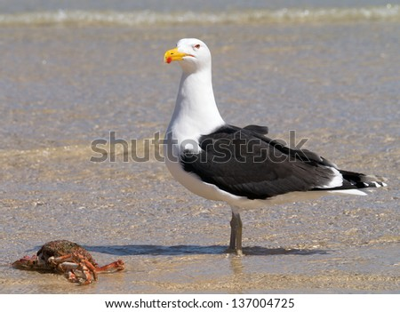 A big Great Black-backed Gull guarding a crab. - stock photo