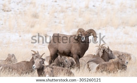 A big horn sheep ram standing in the middle of some ewes with his head lifted scenting the air - stock photo