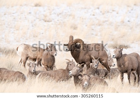 A big horn sheep ram standing in the middle of some ewes with his head tilted - stock photo