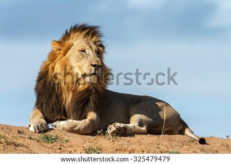 A big male lion surveys his territory - stock photo