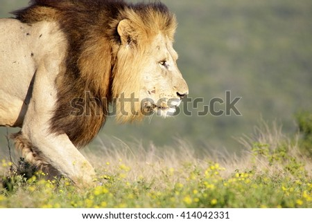 A big male lion walks past our vehicle while on safari in Africa. He was hunting.