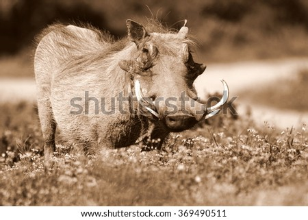 A big male warthog with huge tusks stands head on in this portrait from Addo national elephant par,eastern cape,south africa