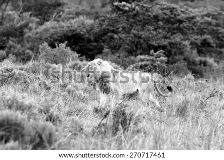 A big male white lion approaches in this image. - stock photo