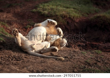 A big male white lion rolls over in this funny photo. South Africa - stock photo
