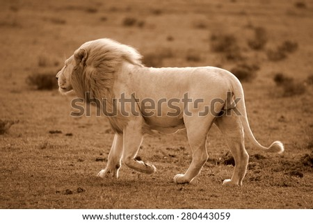 A big male white lion walks past in this sepia tone image. South Africa - stock photo