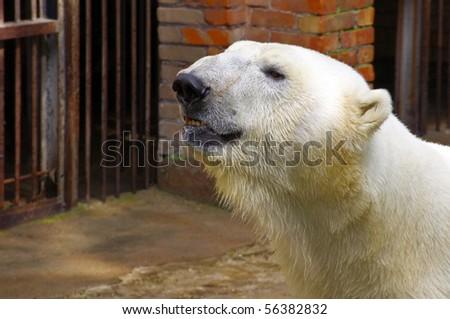 A big polar bear portrait in Kaunas zoo, Lithuania - stock photo