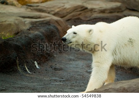 A big polar bear walking around on a large rock formation - stock photo