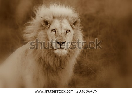 A big pure white male lion in this abstract sepia selective focus photo taken on safari in Africa. - stock photo