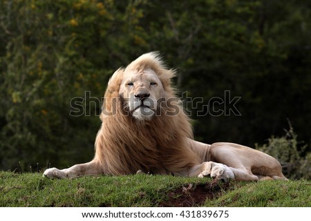 A big pure white male lion in this photo taken on safari in South Africa.