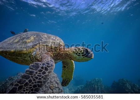 Big Sea Turtle Blue Ocean Natural Stock Photo 585035581 ... Pacific Ocean Underwater Animals