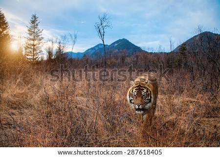 A big Tiger walks in the nature at sunset - stock photo