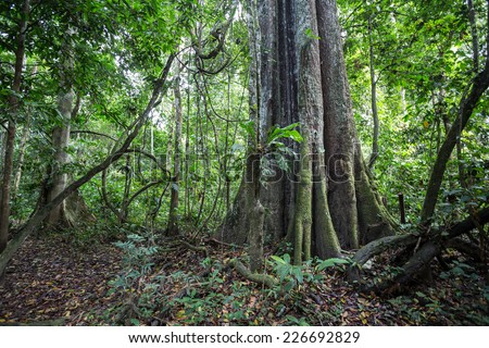 A big tree of the Amazon forest. - stock photo