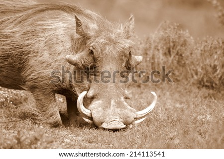 A big warthog with large tusks feeds on his knees in this close up portrait in South Africa - stock photo