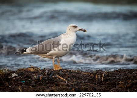 A big white and grey seagull on the seashore walking on the wood's twigs and sea bokeh background - stock photo