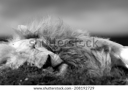 A big White lion male in this close up black and white image. - stock photo