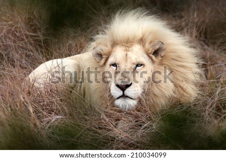A big white lion male lying low in the grass in this image.