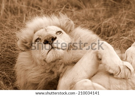 A big white lion stares at the camera while rolling over in this sepia tone image. - stock photo