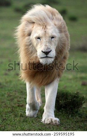 A big white lion walking towards the camera. - stock photo