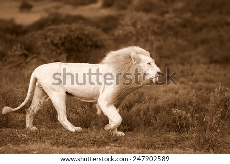 A big white lion walks past in this sepia tone image. - stock photo
