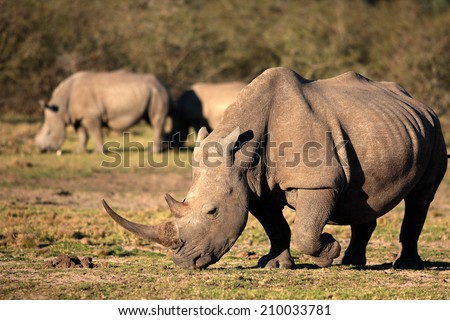 A big white rhino / rhinoceros with two other rhino in the background. - stock photo