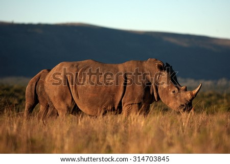 A big white rhino / rhinoceros with two other rhino in the background.