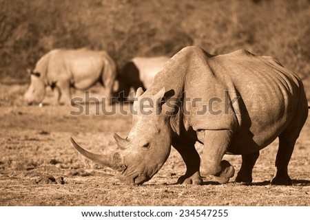 A big white rhino with two other rhino in the background. - stock photo