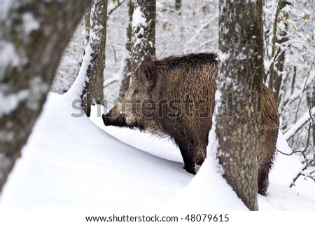 A big wildboar (Sus scrofa) walking in the immaculate, intact snow. Rocca De' Giorgi, Oltrepo Pavese, Italy. - stock photo