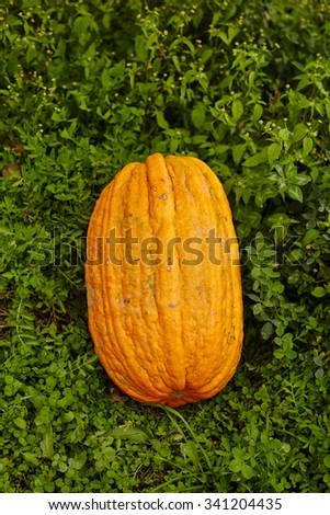 A big yellow pumpkin in a field of lucerne in the countryside - stock photo