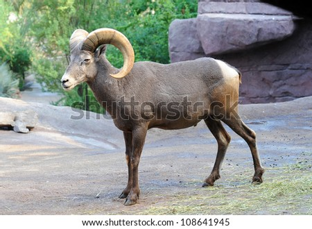 A bighorn ram in standing position - stock photo