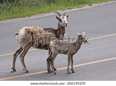A Bighorn sheep and it's calf (Ovis canadensis) shot in Banff National Park, Alberta, Canada.  - stock photo