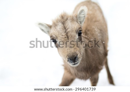 a bighorn sheep lamb approaches and looks curiously at the camera. The sheep is against a pure white background