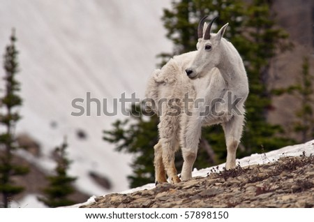 A billy mountain goat in Logan Pass, Glacier National Park, Montana. - stock photo