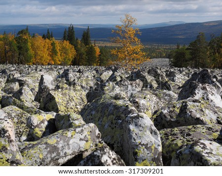 A birch tree in the middle of the stone's river in a bright autumn day on backdrop of the mountain forest, Kumardak ridge, South urals, Russia. - stock photo