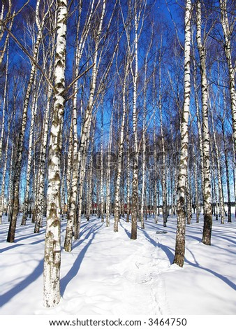 A birch trees grove by a sunny winter day - stock photo
