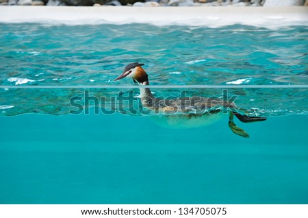 A bird is swimming in the transparent blue water.