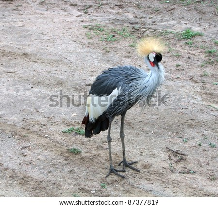 "a bird named ""Black Crowned Crane"" in Uganda (Africa) standing on the ground"