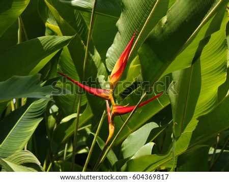 Bird paradise exotic red yellow flowers stock photo royalty free a bird of paradise exotic red and yellow flowers with broad tropical leaves around mightylinksfo