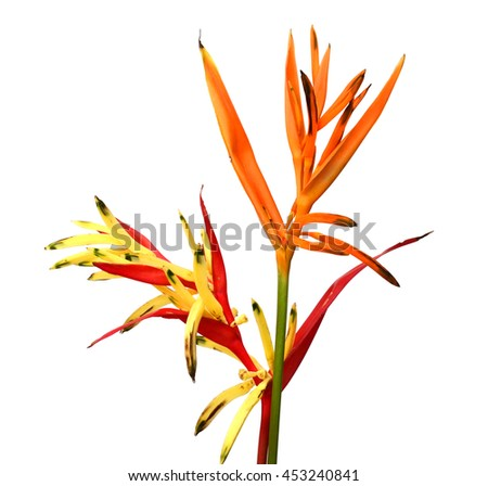 A Bird of Paradise flower, isolated on white background - stock photo
