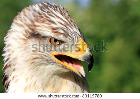 a bird of prey looking fierce and shrieking - stock photo