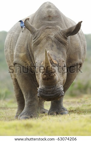 A bird sits on the back of a feeding white rhinoceros. - stock photo