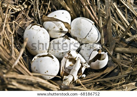 A birds nest with 7 eggs in it, 5 are cracked. - stock photo