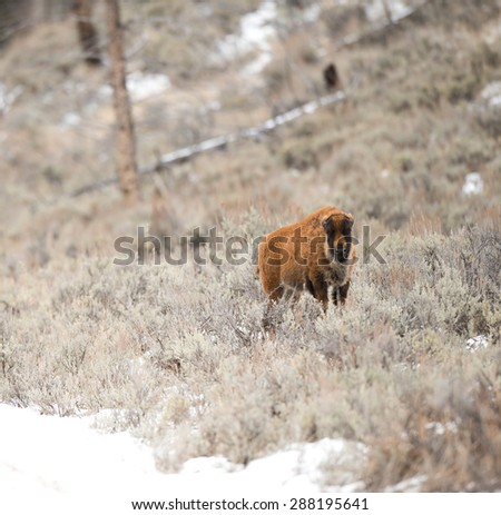A bison calf stops to look at photographer after crossing the road in Wyoming - stock photo