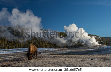 a bison grazes near the steaming old faithful geyser in yellowstone national park - stock photo