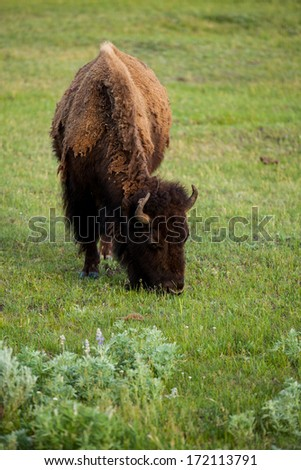 A bison is eating grass , Yellowstone National Park, Wyoming - stock photo