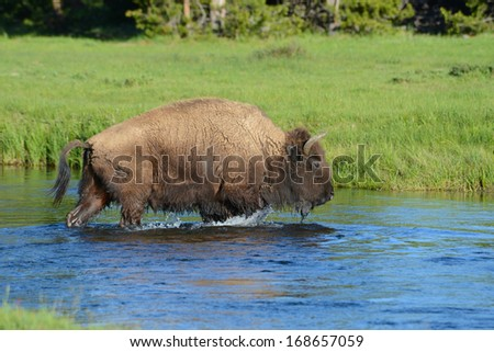 A Bison wades water through a small stream. - stock photo
