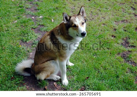 A bitch of West Siberian Laika sitting on a meadow - stock photo
