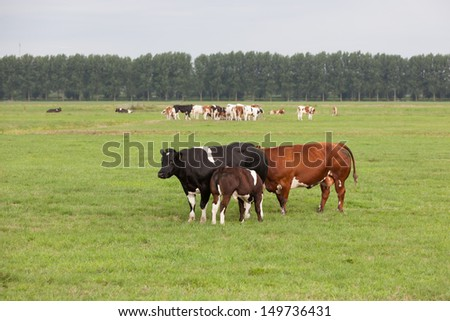 A black and a red  cow and a  suckling calf in a Dutch meadow landscape - stock photo